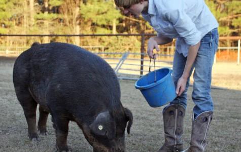 Harrington prepares livestock for show